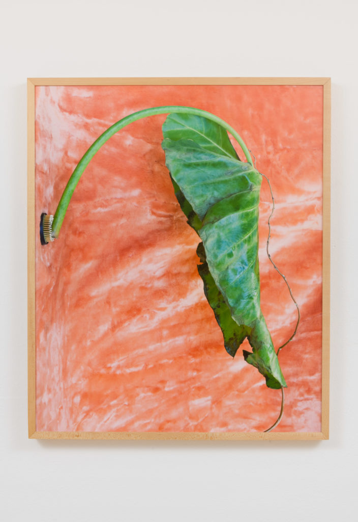 Arden Surdam, Elephant Ear, 2017. Archival Inkjet Print. 20 x 24 inches. Edition of 3 with 2 AP. Courtesy the artist and Garden, Los Angeles. Photo: Jeff McLane.